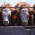 Supplementi a base di amido, applicazione nell'industria della carne
