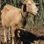 Carne di capra, utilizzo come ingrediente per la formulazione di insaccati fermentati