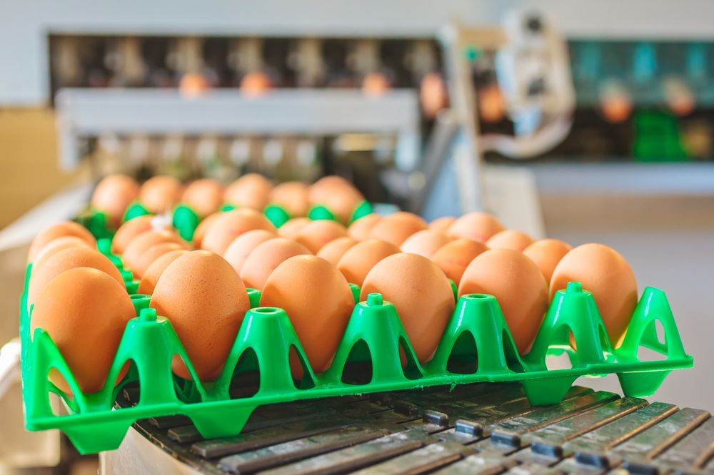 Conveyor belt transporting crates with fresh eggs