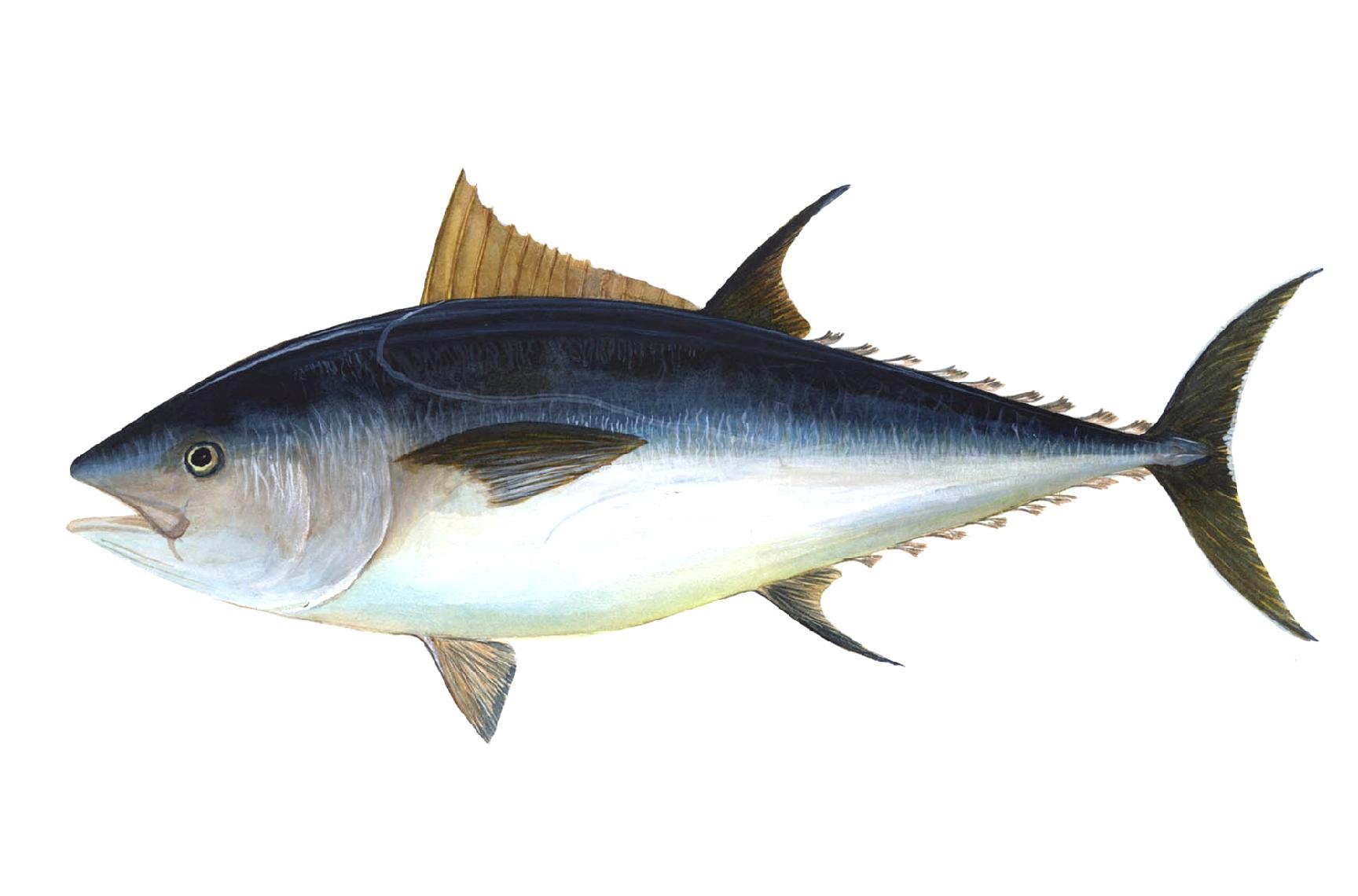 """""""Bluefin-big"""". Con licenza Pubblico dominio tramite Wikimedia Commons - https://commons.wikimedia.org/wiki/File:Bluefin-big.jpg#/media/File:Bluefin-big.jpg"""