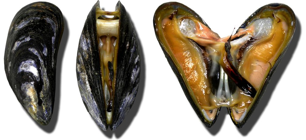 """""""Moules Miesmuscheln mussel"""" di No machine-readable author provided. Lamiot assumed (based on copyright claims). - No machine-readable source provided. Own work assumed (based on copyright claims).. Con licenza CC BY-SA 3.0 tramite Wikimedia Commons - https://commons.wikimedia.org/wiki/File:Moules_Miesmuscheln_mussel.jpg#/media/File:Moules_Miesmuscheln_mussel.jpg"""