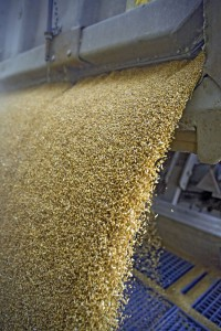 Tractor is dumping wheat grains to silo